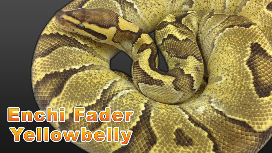 Enchi Fader Yellowbelly